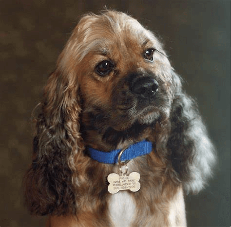 Use of snap hook to attach dog tag for dogs onto a dog collar
